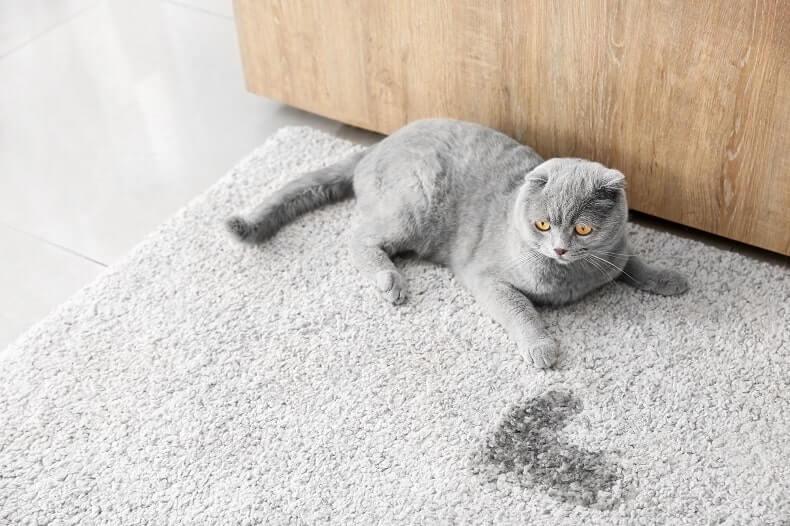 usuwanie zapachu i plam moczu z dywanu